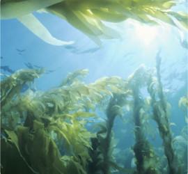 kelp_fronds