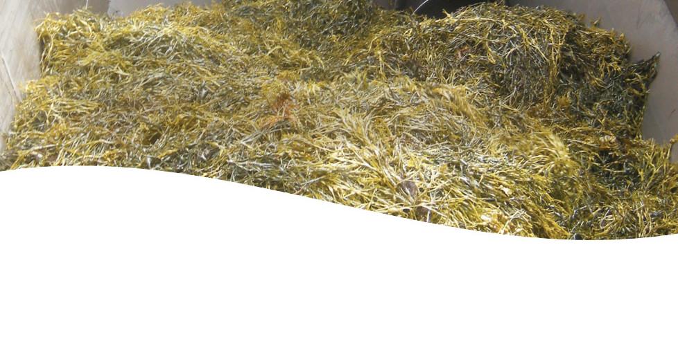 Thorvin Kelp Is Dried with Geothermal Energy